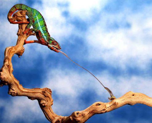 Caméléon attrapant un insecte